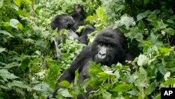FILE - Mountain gorillas roam in Virunga National Park, near the Uganda border in eastern Congo.