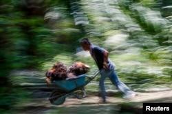 Seorang pekerja Indonesia mendorong gerobak tandan kelapa sawit di perkebunan sawit Felda Bukit Cerakah, distrik Klang, 16 April 2016.