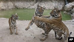 Tigers play near a pool in a wildlife sanctuary at Wat Pa Luangta Bua Yannasampanno Forest Monastery in Kanchanaburi, Thailand, Jan 2010 (file photo)