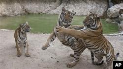 Tigers play near a pool in a wildlife sanctuary at Wat Pa Luangta Bua Yannasampanno Forest Monastery in Kanchanaburi, Thailand, Jan 2010 (file photo)