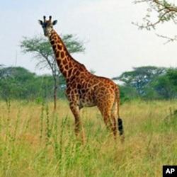 Animal-Human Conflict Rages in Eastern Rwanda
