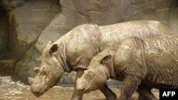 Tê giác Sumatra tại sở thú ở Cincinnati