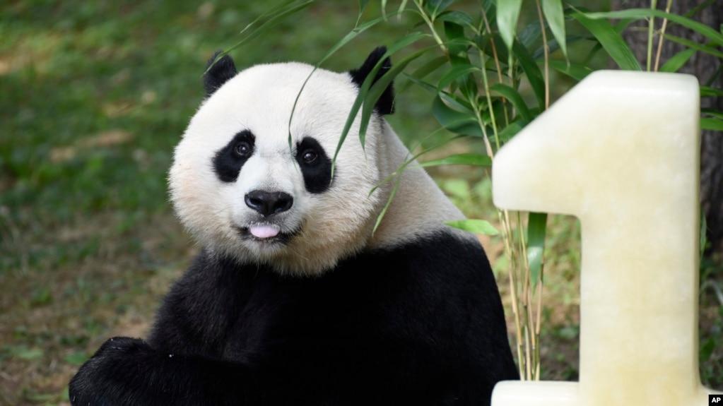 Panda Cubs Older Sister Celebrates Birthday At National Zoo