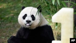 Panda Birthday: Mei Xiang, mother of giant pande cub Bei Bei, eats Bei Bei's birthday cake at the National Zoo in Washington, Saturday, Aug. 20, 2016, during a celebration of Bei Bei's first birthday.