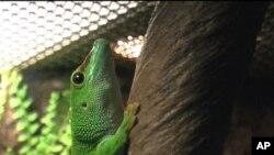 สีสันนิทรรศการตุ๊กแก(Geckos Exhibition)รวบรวมสายพันธุ์ตุ๊กแกจากทั่วโลกมาจัดแสดงที่กรุงวอชิงตัน