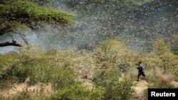 Petani Ethiopia, Ahmed Ibrahim (30 tahun) berusaha menghalau ribuan belalang yang menyerang tanah pertaniannya di Jijiga (12/1).