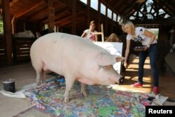 Pigcasso, a rescued pig, stands in front of the canvas she painted at the Farm Sanctuary in Franschhoek, outside Cape Town, South Africa February 21, 2019.