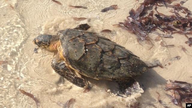 FILE - An endangered turtle is released back into the warm waters of Watamu on Kenya's coast, Jan. 16, 2016.