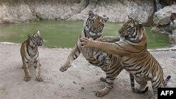Tigrovi u rezervatu na Tajlandu