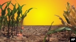 Corn crop on parched dirt/Drought