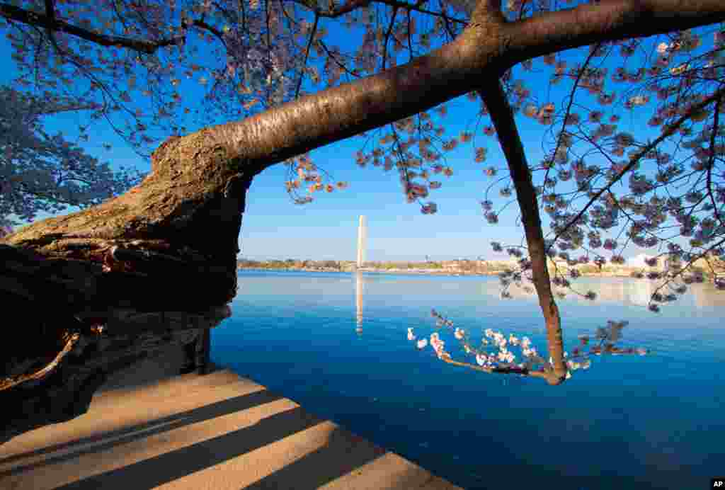 The Cherry blossoms' peak bloom period is early this year, due to warmer than average spring temperatures in Washington. (Photo: Victoria Pickering)