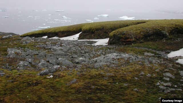 The moss banks of Signy, off the Antarctic Peninsula. (Credit: P. Boelen)