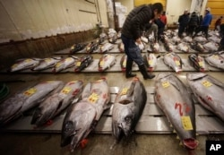 A prospective buyer inspects the quality of a fresh tuna before the first auction of the year at Tsukiji fish market in Tokyo, Jan. 5, 2018.