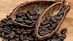 Chocolate is not just good. It's good for your brain. (Seeds from the cacao tree.)