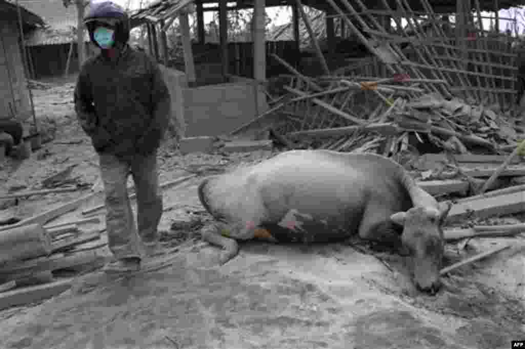 A villager walks past a buffalo killed in the Mount Merapi eruption in Kinahrejo, Yogyakarta, Indonesia, Wednesday, Oct. 27, 2010. A volcanic eruption and a tsunami killed scores of people across Indonesia. (AP Photo/Gembong Nusantara)