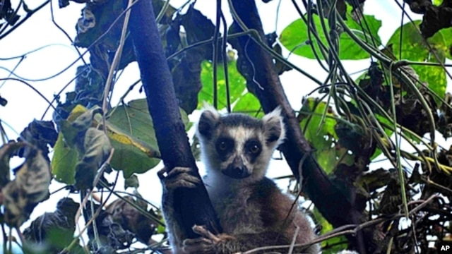 Madagascar's ring-tailed lemur in the wild.