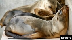 Rescued California sea lion pups rest in their holding pen at Sea World San Diego in San Diego, California, Jan. 28, 2015.