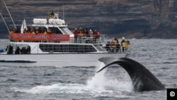 Off the coast of Sydney, passengers aboard a boat are treated to a spectacular whale show, ( Whale Watching Sydney)