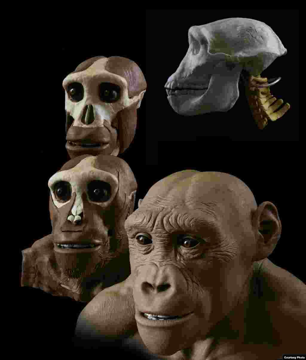 "Seniman ini mengambil ide dari fosil-fosil tengkorak dan pengetahuan mengenai anatomi manusia dan kera untuk menciptakan model-model yang akurat secara forensik. (John Gurche, ""Shaping Humanity"")"
