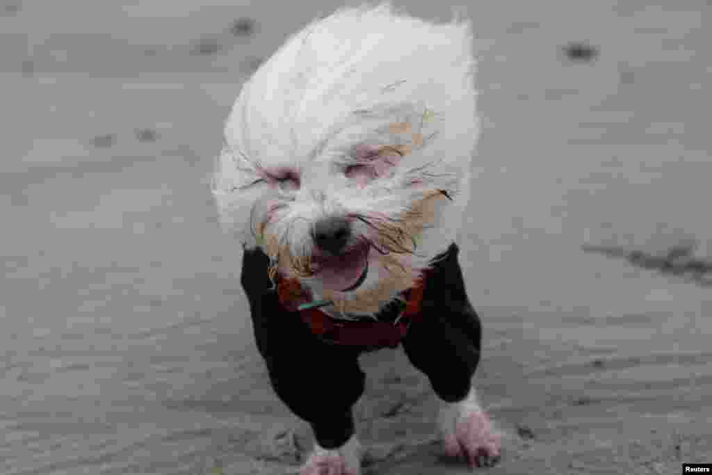 A Coton de Tulear dog is blown by strong winds on the beach in Lyme Regis, southern England, Feb. 14, 2014.