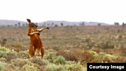 The Comedy Wildlife Photography Awards 2017, Andrey Giljov, Saint-Petersburg, Russian Federation. Kung fu training (Australian style). Funny Mammals from South America to Australia. (Comedy Wildlife Photo Awards)