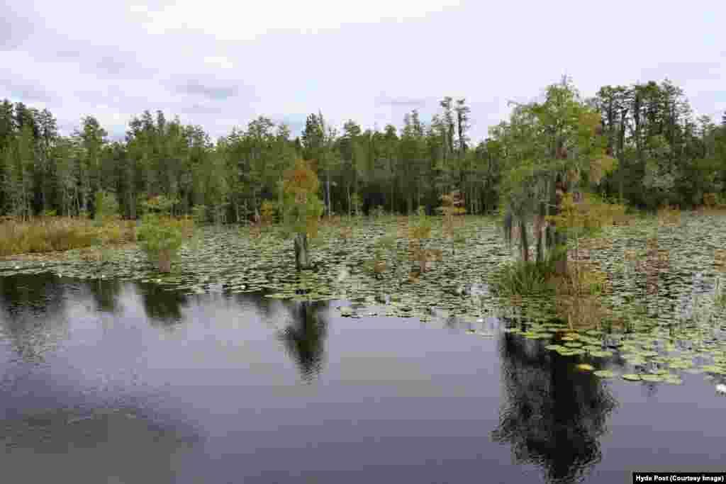 انعکاس درختان و آسمان در آب سیاه رنگ مرداب اوکیفینوکی