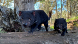 Quiz - Tasmanian Devils Return to Australia Mainland after 3,000 Years