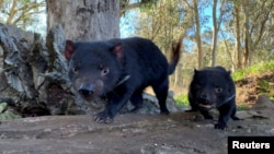 Tasmanian devils are seen in Australia in this undated handout image. (Aussie Ark/Handout via Reuters)