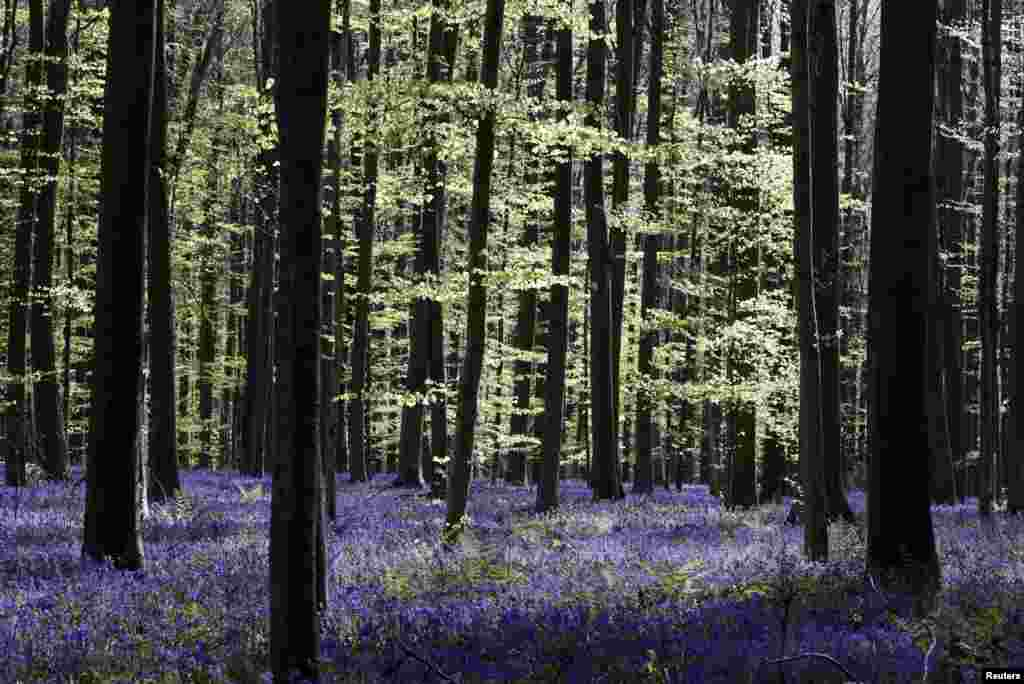 "Wild bluebells are pictured in the Hallerbos, also known as the ""Blue Forest"", that had to be closed to groups of tourists this year due to the coronavirus disease (COVID-19) outbreak, near Halle, Belgium."