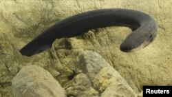 An electric eel (Electrophorus electricus) is pictured in this undated handout photo. (K. Catania / Handout)