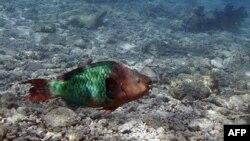 Život bez korala – riba u mrtvom koralnom grebenu na jugu Floride. Prema brojnim studijama, koralima širom sveta preti istrebljenje, a oko 50% korala na Karibima su već uništeni zbog klimatskih promena i zagadjenja