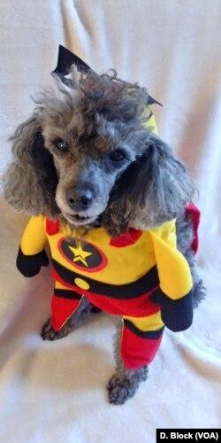Pas maskiran u superheroja za proslavu Noći veštica.
