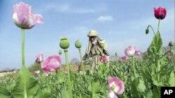 A poppy field in Afghanistan.