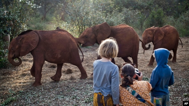 FILE - Foreign visitors take photographs as baby orphaned elephants return back for feeding time after spending the day in Nairobi National Park, at the David Sheldrick Wildlife Trust elephant orphanage in Nairobi, Kenya.