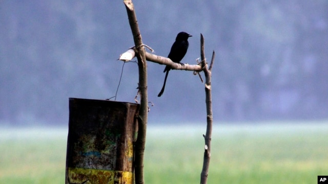 FILE - A drongo sits on a pole in a paddy field on the outskirts of Gauhati, India.