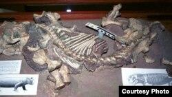 Lystrosaurus di Museum Albany, Grahamstown, Afrika Selatan. (Foto: Ken Angielczyk)