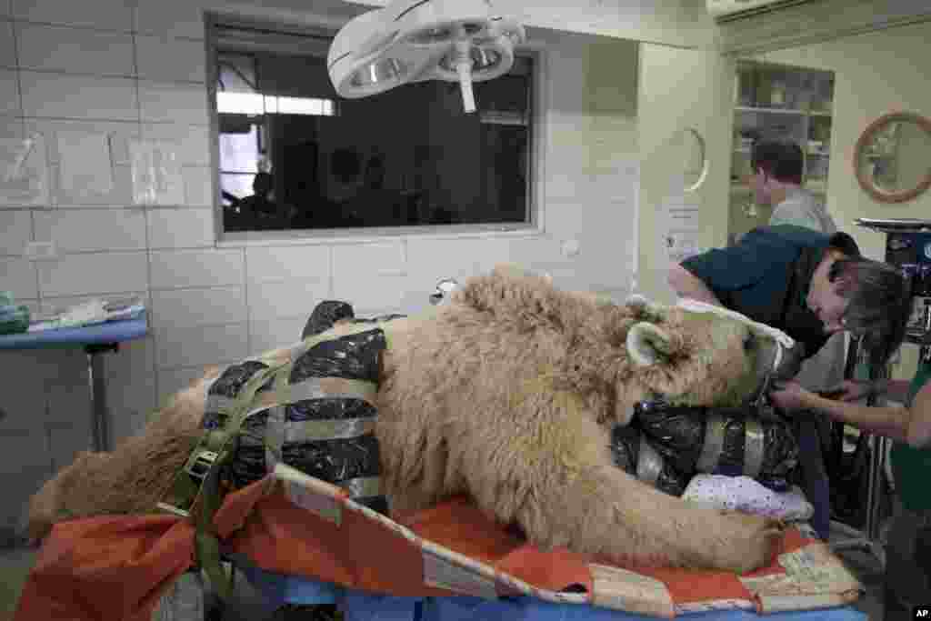 Mango, a 19-year-old male Syrian brown bear, rests on a bed as zoo veterinarians and staff prepare him for surgery to repair a herniated disc in his back after it was discovered in an x-ray, in the Ramat Gan Zoological Center's animal hospital near Tel Aviv, Israel.