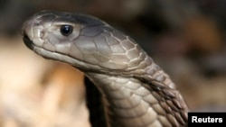 A Naja Ashei, a giant spitting cobra measuring nearly nine feet and carrying enough venom to kill at least 15 people, is seen in this picture released by WildlifeDirect.