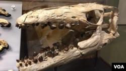 """Salah satu fosil """"mosasaur"""" yang ditemukan di tebing jurang di Angola kini dipamerkan di Smithsonian's National Museum di Washington, DC."""