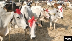 Cows are being sold in a rural Eid al-Adha special cattle market in West Bengal state, Sept 19, 2015. Muslims buy cows in good numbers from the cattle markets of the state for the purpose of sacrificing them during Eid. (Photo by - Shaikh Azizur Rahman/VO
