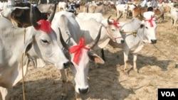 Penjualan sapi-sapi untuk kurban menjelang Idul Adha di sebuah pasar di negara bagian Bengal barat, 19 Sept 2015. (Photo by - S. Rahman/VOA)