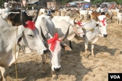 Cows are being sold in a rural Eid al-Adha special cattle market in West Bengal state, Sept 19, 2015. Muslims buy cows in good numbers from the cattle markets of the state for the purpose of sacrificing them during Eid. (Photo by - Shaikh Azizur Rahman/VOA)