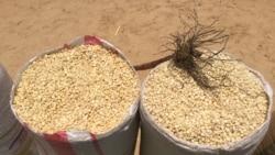 Praga de milho ameaça a segurança alimentar