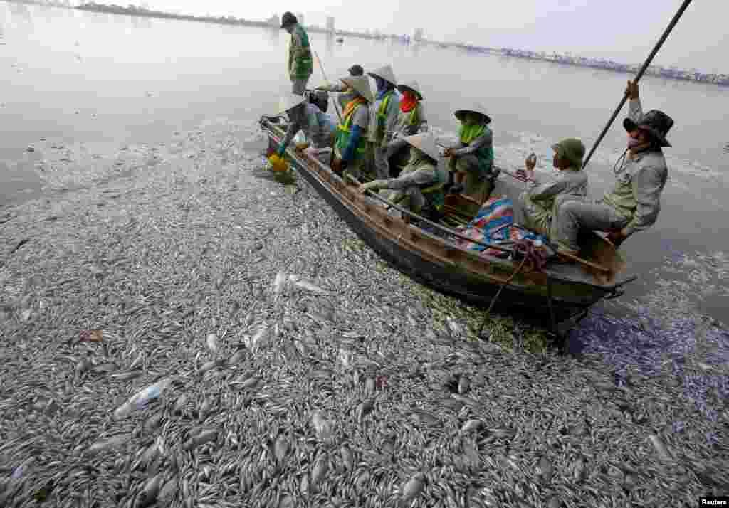 Para pekerja mengumpulkan ikan-ikan yang mati di Danau West yang terkena polusi di Hanoi, Vietnam.