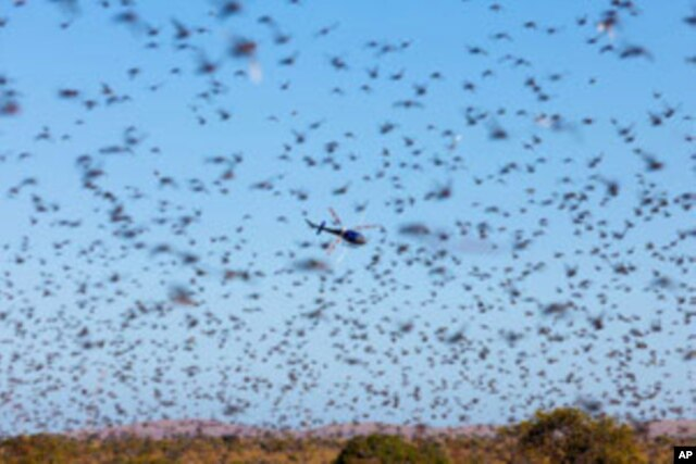 FILE - A thick swarm of locusts in southern part of Madagascar in May 2011.