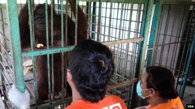 Orangutan yang terluka parah di dalam kandang di Taman Satwa Taru Jurug di Solo, Jawa Tengah, dirawat oleh dokter dan aktivis. (VOA/Yudha Satriawan)