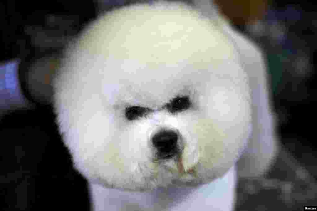 A Bichon Frise is groomed in the benching area prior to judging at the 2016 Westminster Kennel Club Dog Show in the Manhattan borough of New York City.