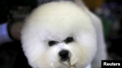 FILE - A Bichon Frise is groomed in the benching area before judging at the 2016 Westminster Kennel Club Dog Show in the Manhattan borough of New York City, February 15, 2016.