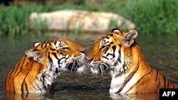 В Атланті громадськість зможе оглянути суматранських тигренят