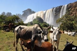 Nile waters from Ethiopia help sustain Egyptian livestock